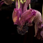 Drying purple anemone