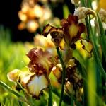 Copper Gold Irises