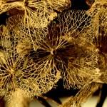 dried hydrangeas